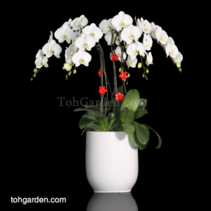Phalaenopsis Sogo Yukidein in Ceramic Pot (6 in 1)