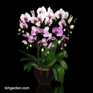 Phalaenopsis Bicolor in Ceramic Pot (6 in 1)