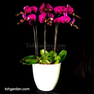 6 in 1 Sogo Yukidien Red Phalaenopsis in ceramic pot