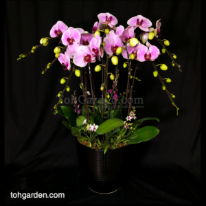 8 in 1 Pink Phalaenopsis with Mini Dendrobiums