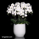 Phalaenopsis Sogo Yukidien in Ceramic Pot (10 in 1)