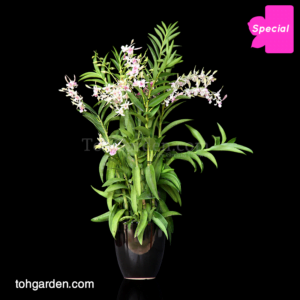 Dendrobium Lorraine Mortimer in Ceramic Pot (5 in 1)