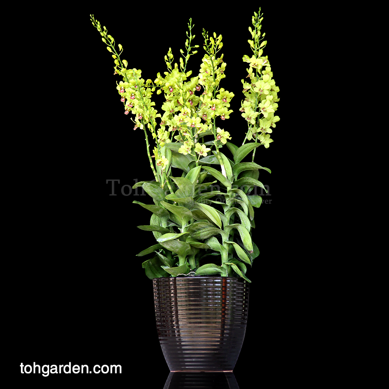 Dendrobium Burana Jade in Ceramic Pot (5 in 1)