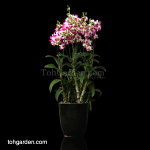 Dendrobium Eastern Vigor in Ceramic Pot (5 in 1)