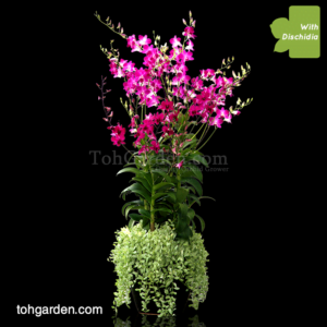 Dendrobium Tay Swee Keng / Ekapol Mix with Dischidia in Ceramic Pot
