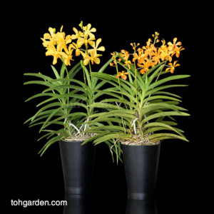 Aranda Moonlight / Aranda Singa Gold in Ceramic Pot (2 sets)