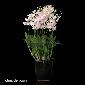 Dendrobium Lucian Pink in Ceramic Pot (5 in 1)