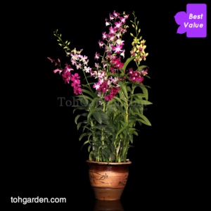 Dendrobium Mix in Clay Pot (5 in 1)
