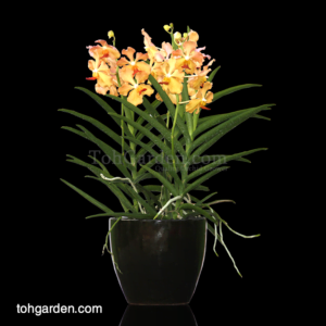 Papilionanda Tan Chay Yan hybrid in Ceramic Pot