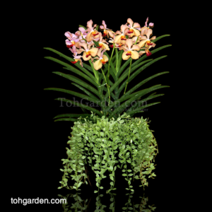 Papilionanda Tan Chay Yan with Dischidia in Ceramic Pot