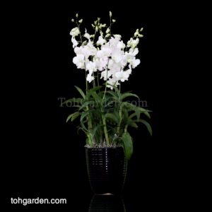 Dendrobium Princess White in Ceramic Pot