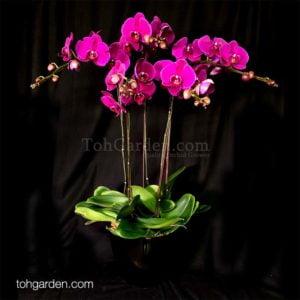 5-in-1 Red Sogo Yukidian Phalaenopsis in ceramic pot