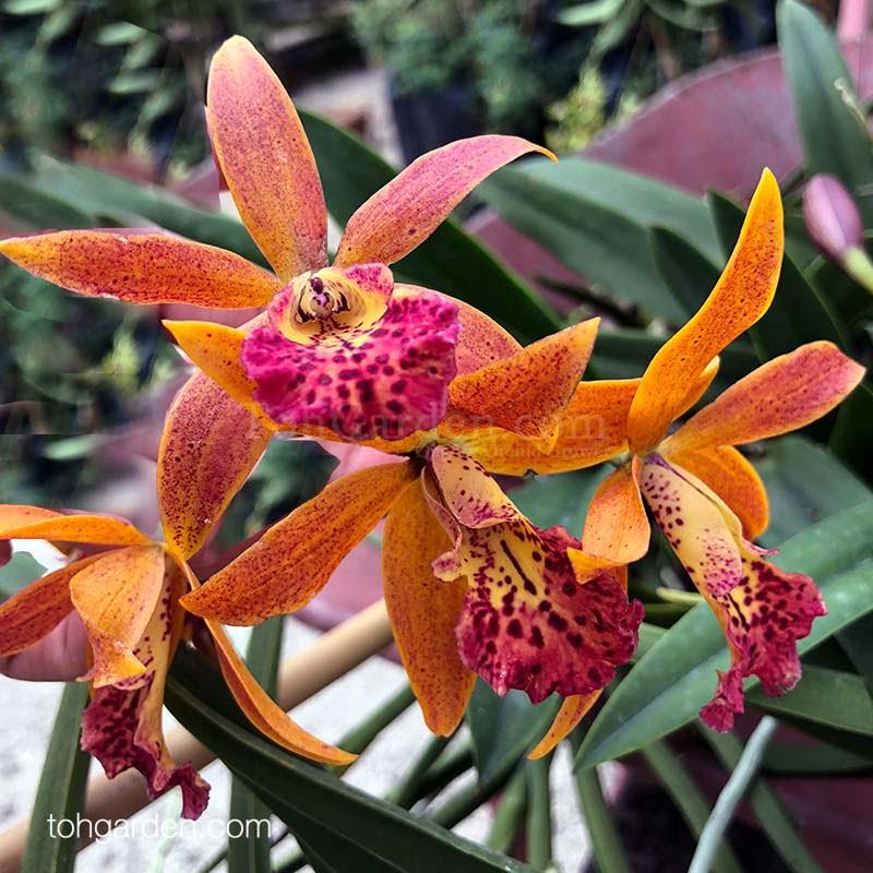 Brassocattleya Rustic Spots hybrid