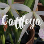 Cattleya Alliance Hybrids List