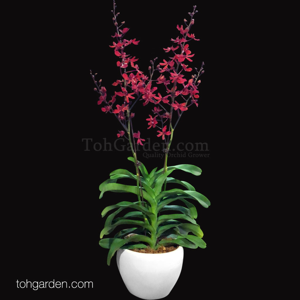 Red Orchids in Ceramic Pot (2 in 1)
