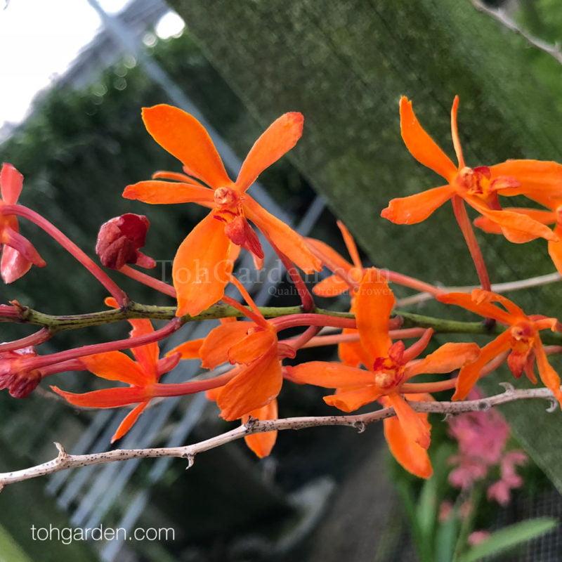 Ascocenda x Renanthera hybrid