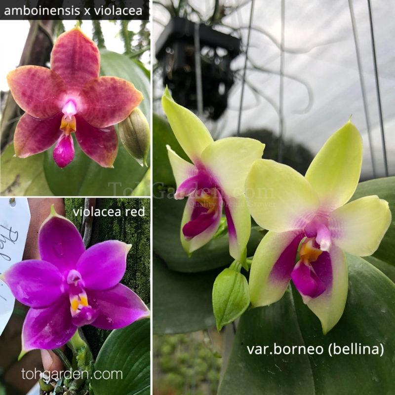 Phalaenopsis violacea hybrids