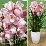 High-Quality Korean Cymbidium in White Ceramic Pot (Gentle Pink)