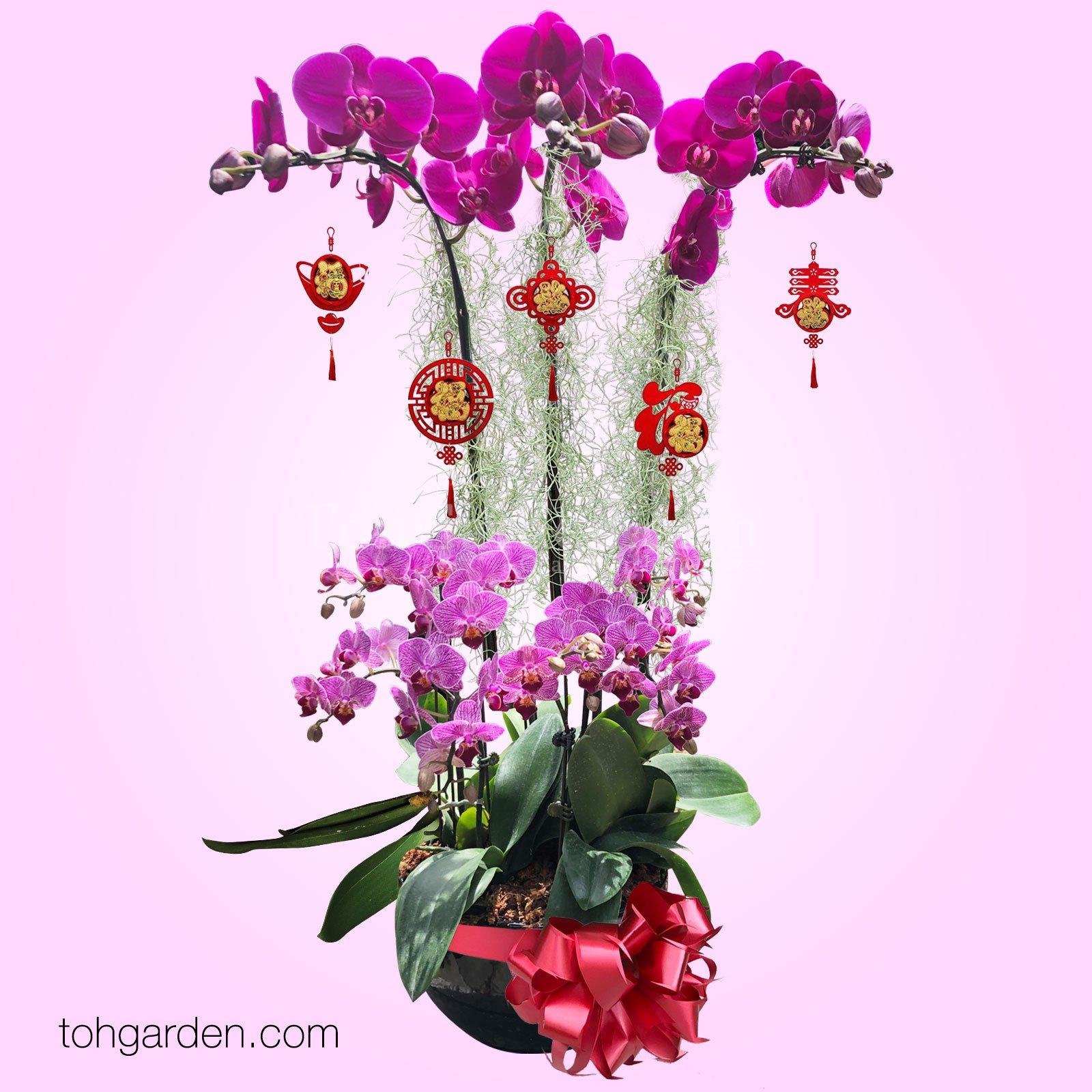 2020 CNY Phalaenopsis Special Red