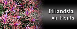 Tillandsia (Air Plants)