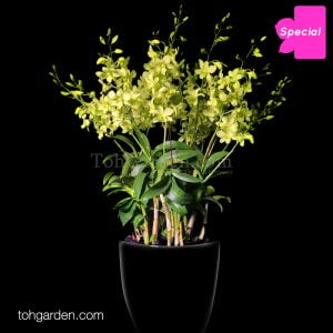 Dendrobium Aridang Green in Ceramic Pot (8 in 1)