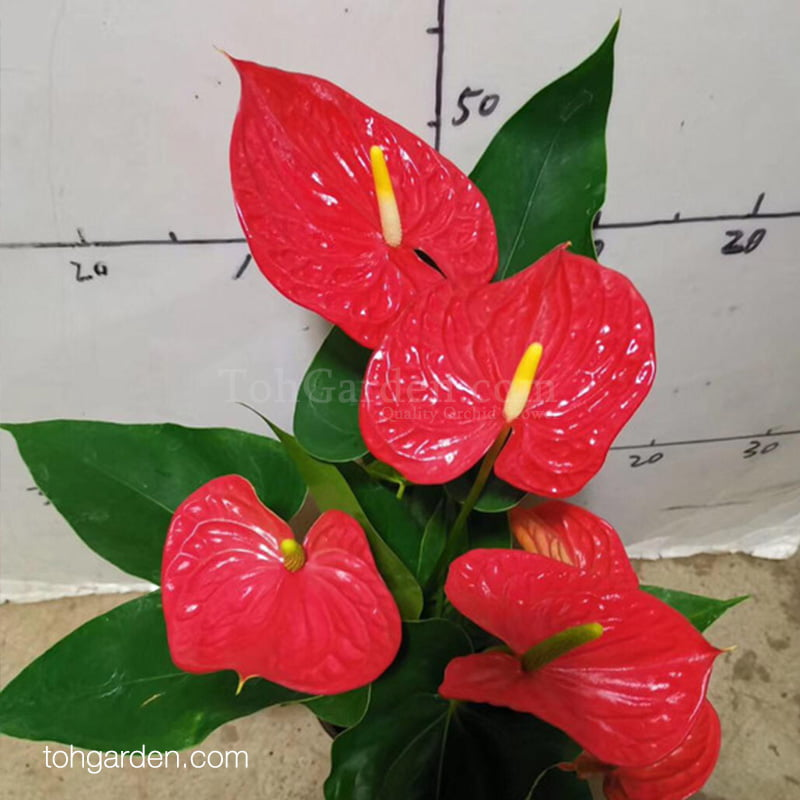 Anthurium Mexican Red (0.40m)