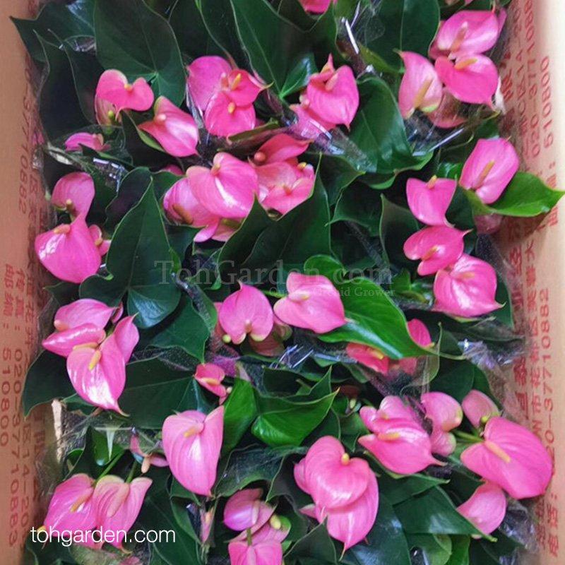 Anthurium Pink (0.40m)
