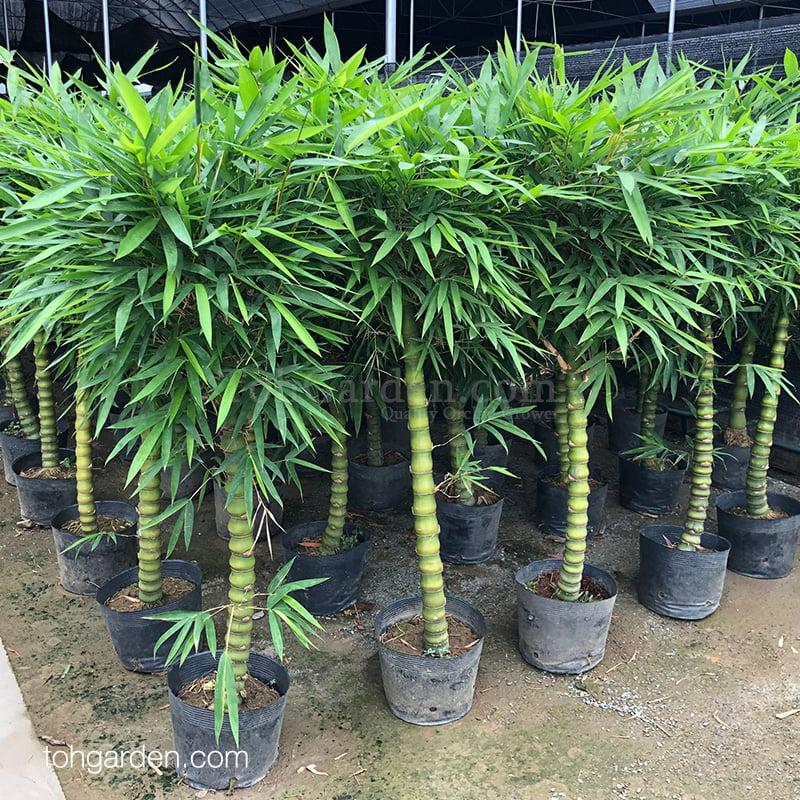 Bamboo (1.50m)