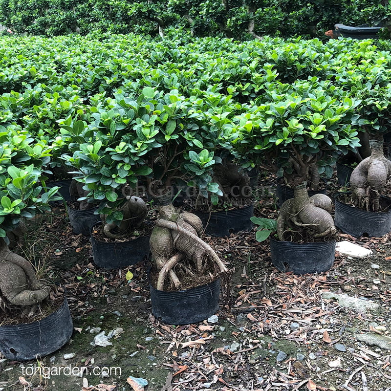 Ficus microcarpa (0.40m)