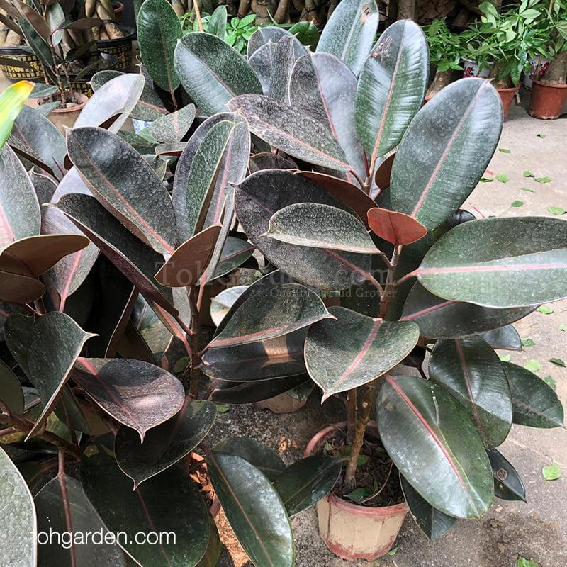 Ficus elastica Roxb. ex Hornem.(Rubber Plant)