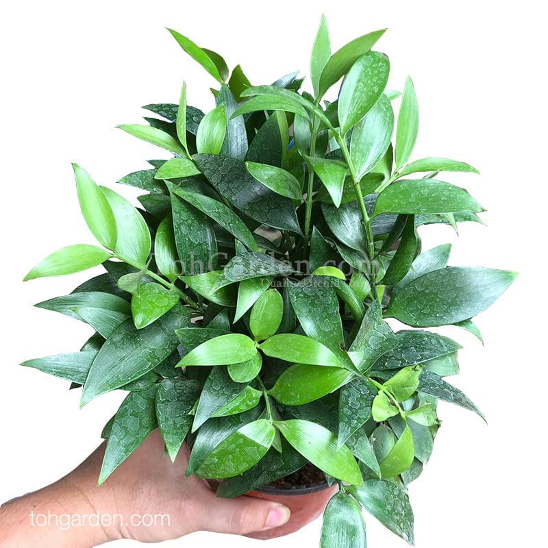 Podocarpus nagi (0.25m)