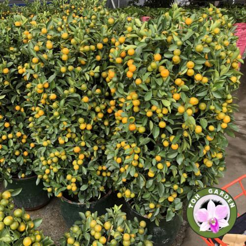 Four Season Lime