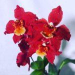 Red Odontoglossum