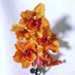 Orange Odontoglossum