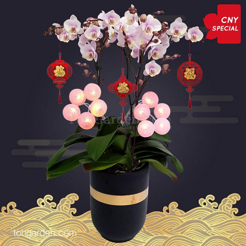 2020 CNY Special Pink Phalaenopsis Orchid
