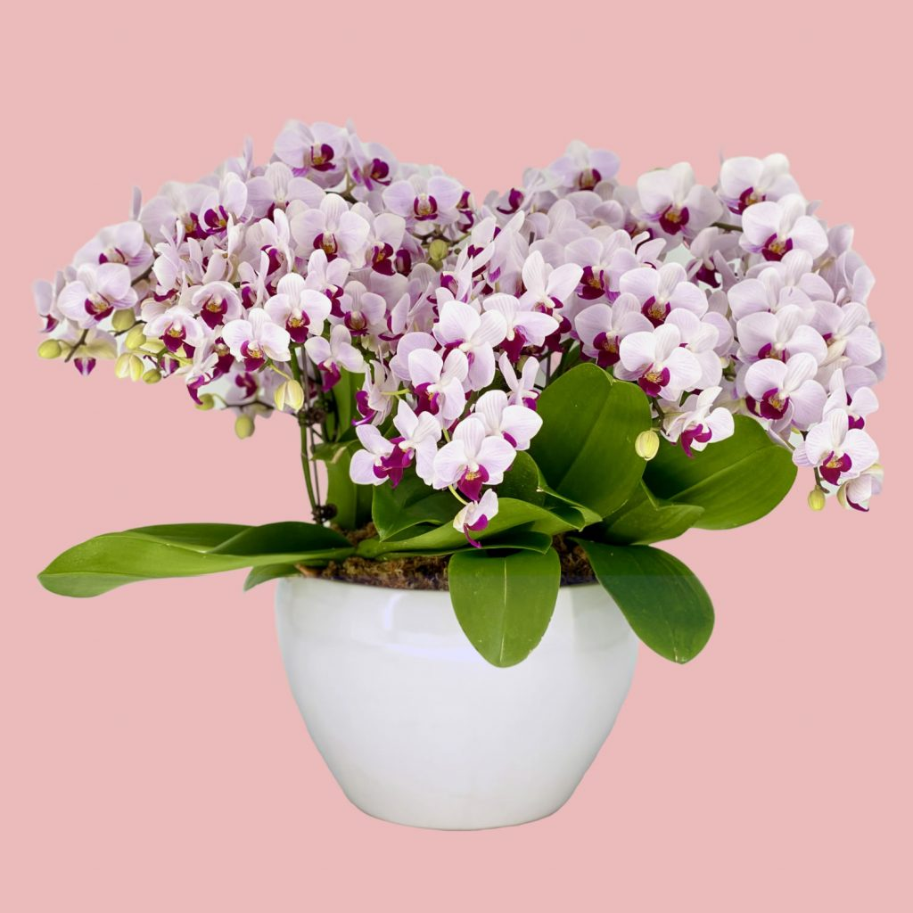 Phalaenopsis Cherub (5 in 1) Arrangement