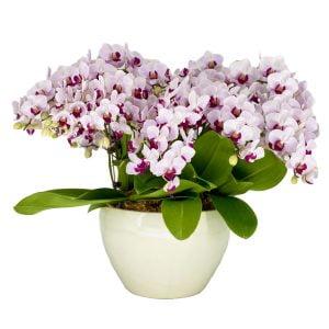 Phalaenopsis Cherub (5 in 1) Arrangement