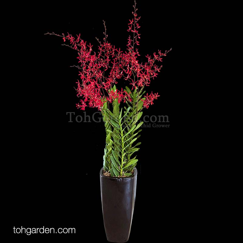 Aranthera James Storei Red (5 in 1)