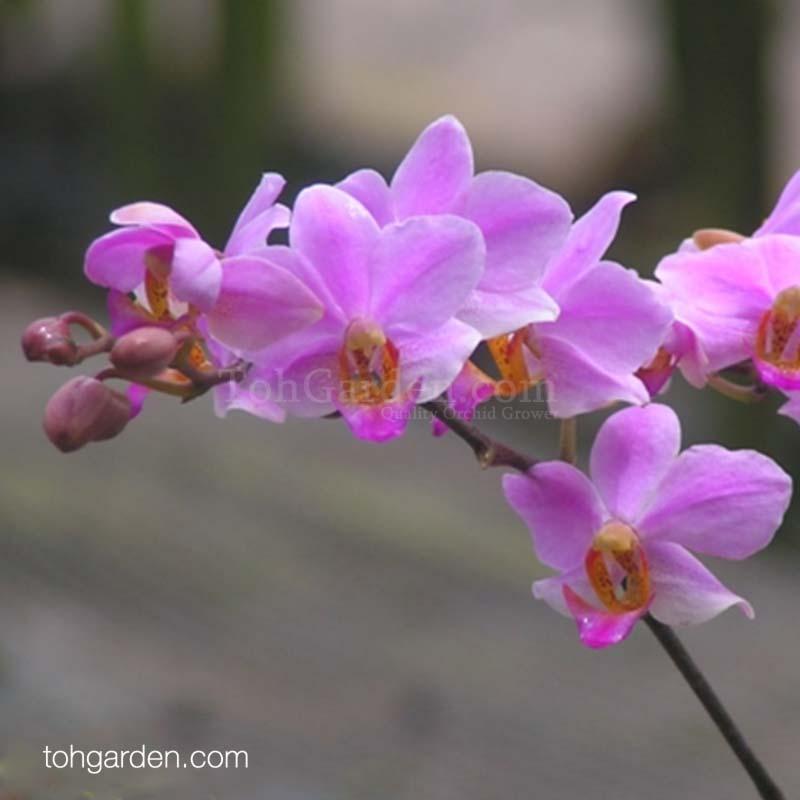 Phalaenopsis Bonita '1965'
