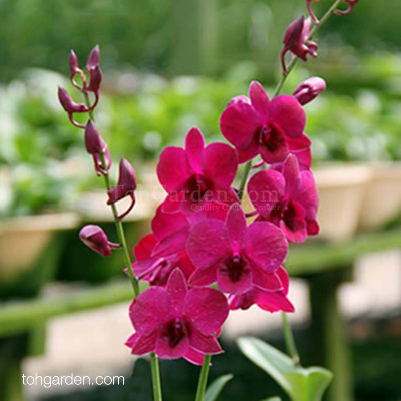 Dendrobium Tay Swee Keng Jr.