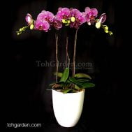 Frenchie Phalaenopsis Arrangement (3-in-1)