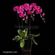 Chilli Red Phalaenopsis Arrangement (3-in-1)