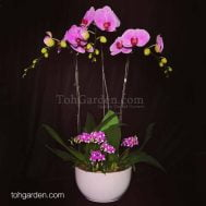 OX Pink Phalaenopsis with Mini Dendrobiums Arrangement (6-in-1)