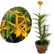Epidendrum Rung Aroon