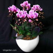 Mini Phalaenopsis Bubblegum Arrangement (5 in 1)
