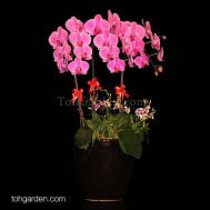 Hot Pink Phalaenopsis with Mini Dendrobiums Arrangement (5-in-1)