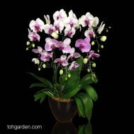 Bicolor Phalaenopsis Light Arrangement (6-in-1)