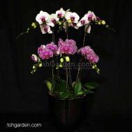 Bicolor Phalaenopsis Dark Arrangement (6-in-1)