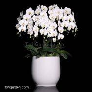 Phalaenopsis Sogo Yukidien Arrangement (8 in 1)