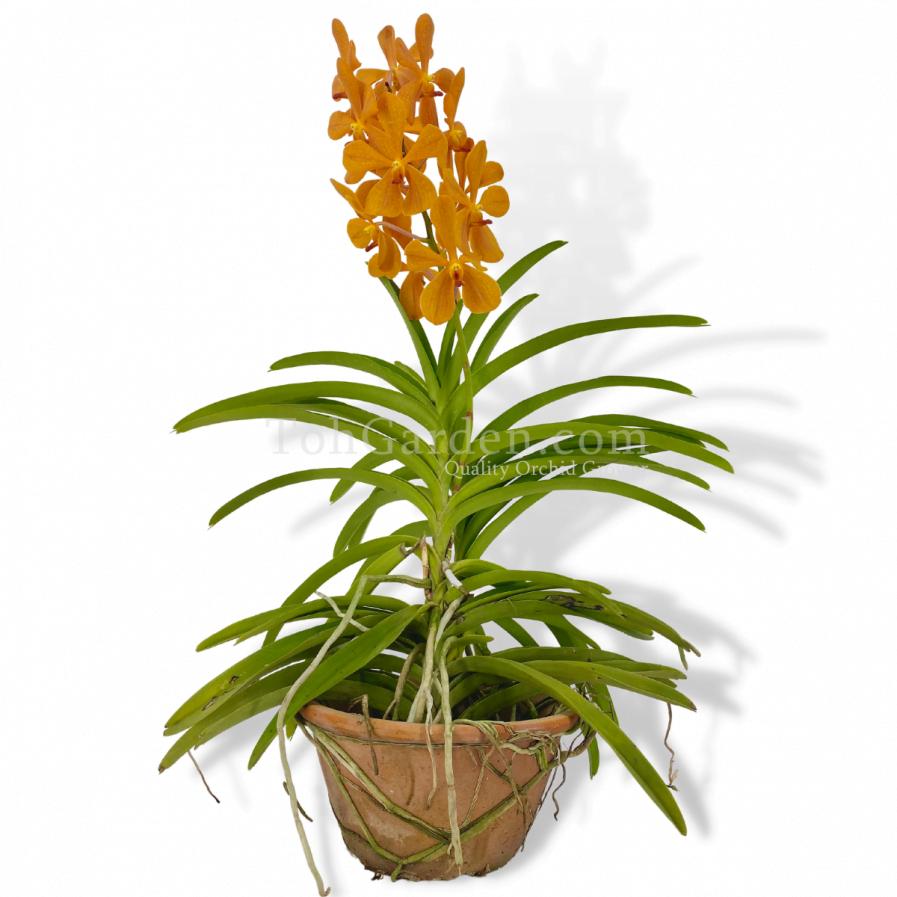 Aranda Jitti Gold Orange